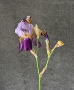 WIP-04 20150508-008 purple irises 12x9